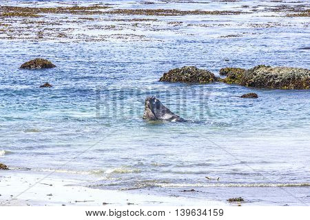 Sealions Fighting In The Ocean