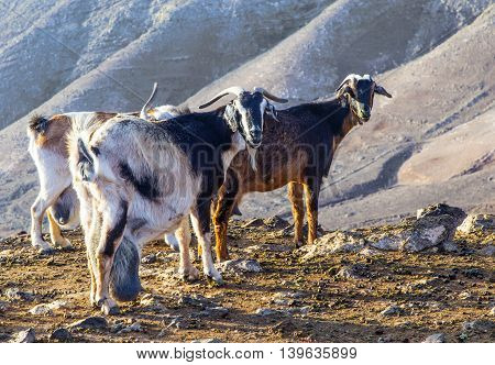 Goats In The Mountains Of Lanzarote