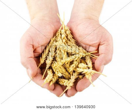 Hands holding wheat ears