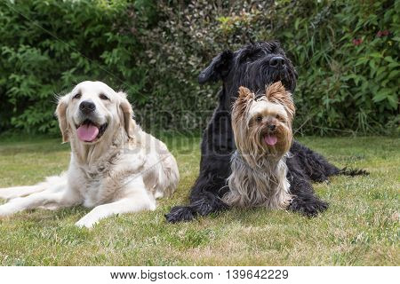Giant Black Schnauzer Yorkshire Terrier and Golden Retriever dogs are lying on the lawn. Yorkshire terrier is sitting in front of the Giant Black Schnauzer dog.