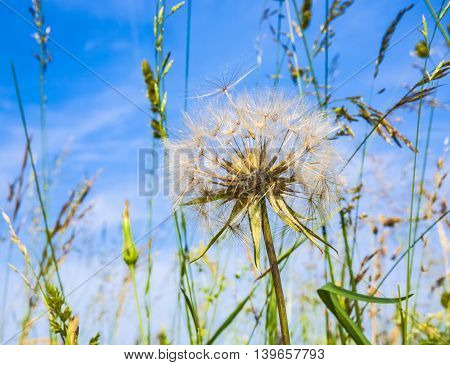 detail of beautiful blowball flower in field gives a harmonic background