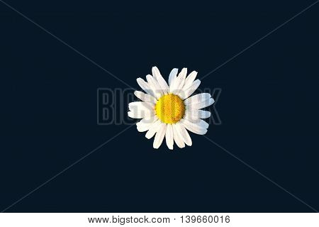 detail of chamomile isolated on black background