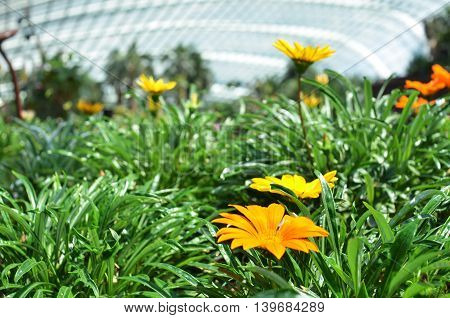 Beautiful Orange Gazania Flowers