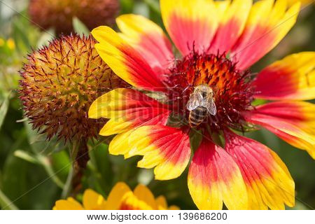 Bee nectar search on a flower, summer