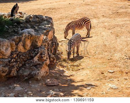 JERUSALEM, ISRAEL - MAY 8: Two zebras in Biblical Zoo in Jerusalem, Israel on May 8, 2016