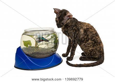 Cat breed Cornish Rex and aquarium isolated on white