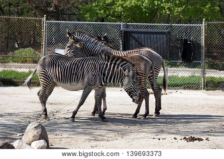 A Grevy's zebra (Equus grevyi) stallion walks beside a mare and foal standing together, their stripes seeming to blend together.