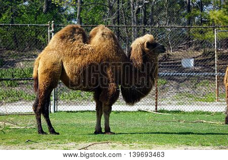 A Bactrian Camel (Camelus bactrianus) stands in profile.