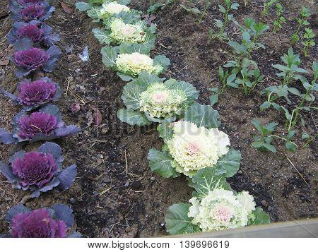 Huerto. Coles de invierno. Plantas con flores blancas y lilas y con fines ornamentales.