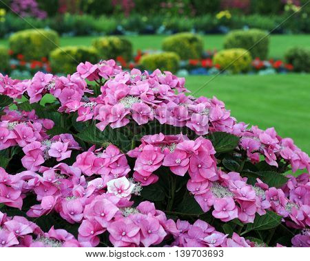 Summer garden with pink hydrangea and lawn