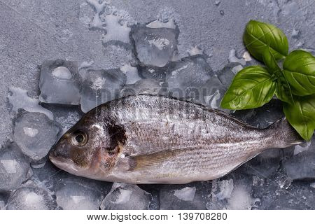 Raw delicious fresh fish on ice on dark gray background. Gilt-head sea bream fish on ice. Decorated with basil.