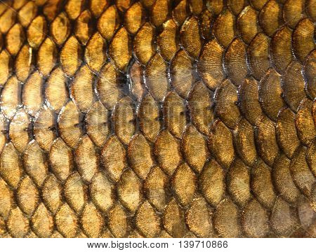 Fresh carp fish scales  gold texture close up detail
