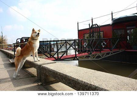 Akita Inu on the riverbank with a faraway look