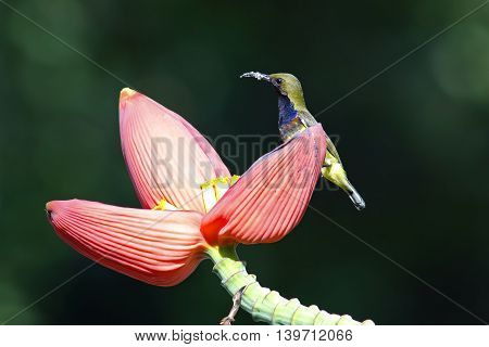 Olive-backed sunbird Cinnyris jugularis Male Birds of Thailand