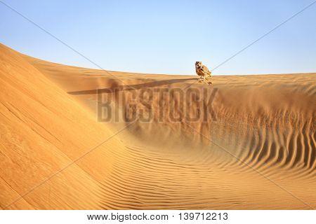 Desert Eagle Owl sitting on a dune in Dubai Desert Conservation Reserve, UAE