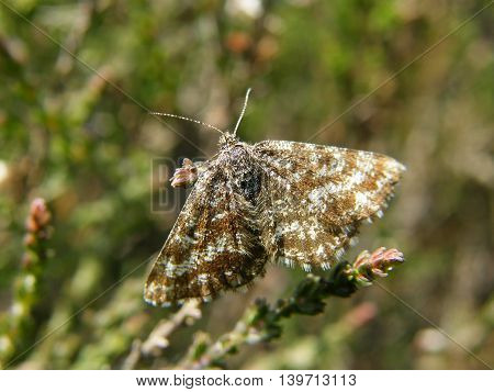 Female Common Heath Moth on a lowland fell