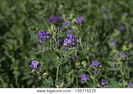 Isolated alfalfa flower. Alfalfa, Medicago sativa, also called lucerne, is a perennial flowering plant in the pea family. Its cultivated as an important forage crop in many countries around the world.