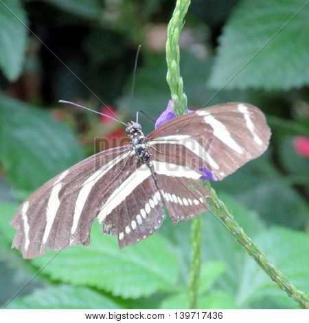 Zebra Longwing in garden of Niagara Falls Ontario 16 July 2016 Canada