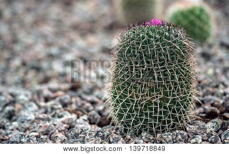 cactus growing in the rocks in the garden on the nature, small pink buds on top, dolichothele, baumii, a kind