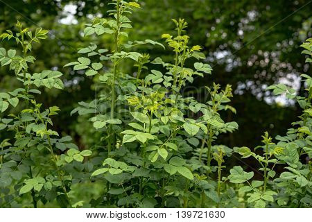 green plants background in summer in Germany
