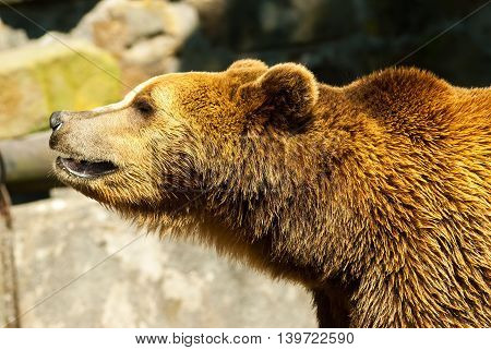 A brown bear in zoo summer day