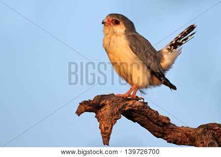 A pygmy falcon (Polihierax semitorquatus) perched on a branch, South Africa