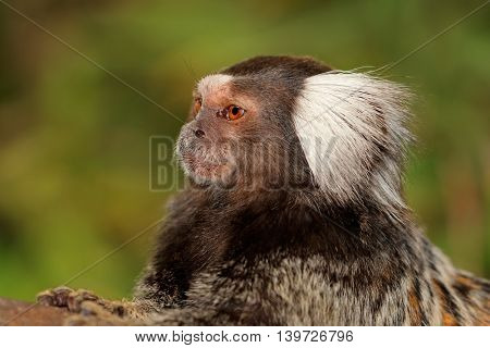 Portrait of a marmoset monkey (Callithrix jacchus) against a green background