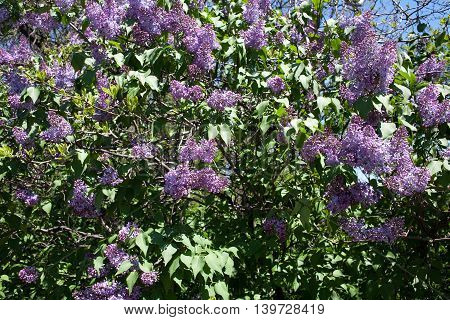Lilac bush in the spring with the abloom flowers on a sunny day