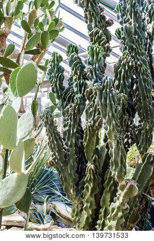 growing among the rocks cactuses. Live nature.