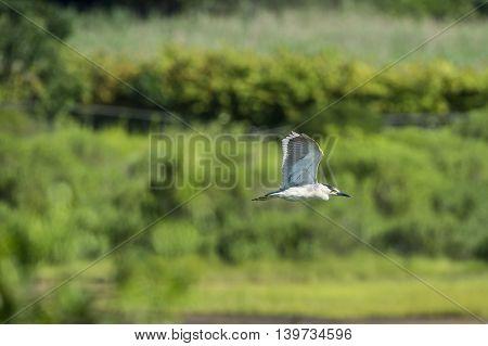 Adult Black-crowned Night-Heron in level flight across wetlands wings high