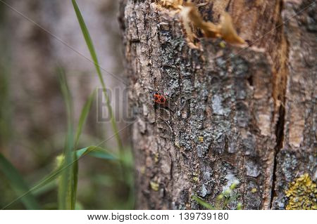 Bedbug-soldier On A Tree