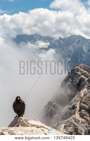Alpine chough at Zugspitze top of Germany