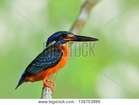 A Female Of Blue-eared Kingfisher (alcedo Meninting) A Little Beautiful Blue Bird Perching On The Br