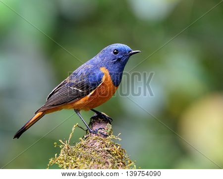 Beautiful Bird, Blue-fronted Redstart (phoenicurus Frontalis) The Colorful Blue Bird With Orange Bel