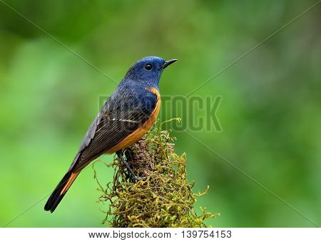 Beautiful Blue Bird, The Blue-fronted Redstart (phoenicurus Frontalis) Standing On The Branch Showin