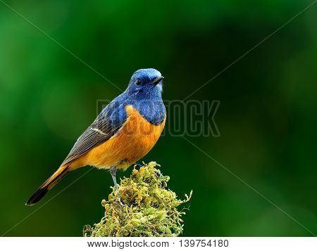 Beautiful Blue Bird, The Blue-fronted Redstart (phoenicurus Frontalis) Standing On The Mossy Spot On