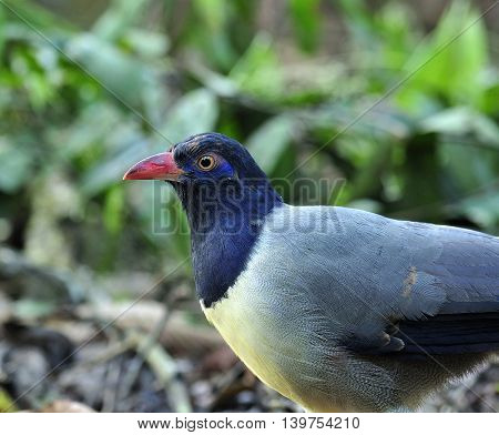 Beautiful Coral-billed Ground Cuckoo (carpococcyx Renauldi) The Fine Grey Bird With Pink Bills