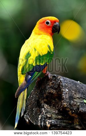 Beautiful Sun Conure (aratinga Solstitialis) The Lovely Yellow Parrot Perching On The Log Showing It