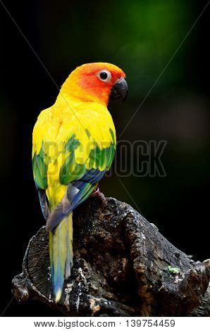 Beautiful Sun Parakeet Or Sun Conure (aratinga Solstitialis) The Lovely Yellow Parrot Perching On Th