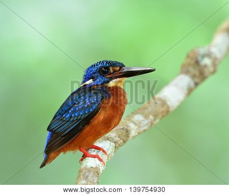 Blue-eared Kingfisher (alcedo Meninting) A Little Chubby Blue Bird Perching On The Branch In Front O