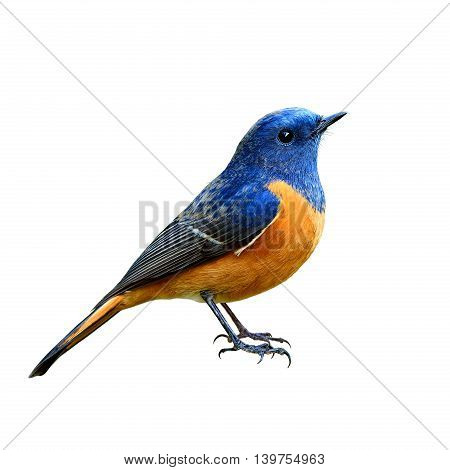 Blue-fronted Redstart (phoenicurus Frontalis) The Beautiful Blue And Orange Belly Bird Fully Standin
