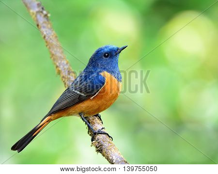 Exotic Blue Bird, Blue-fronted Redstart (phoenicurus Frontalis) The Colorful Blue Bird With Orange B