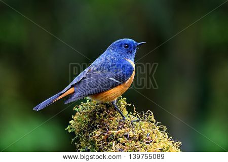 Blue-fronted Redstart (phoenicurus Frontalis) The Lonely Colorful Bird Perching On The Mossy Spot Wi