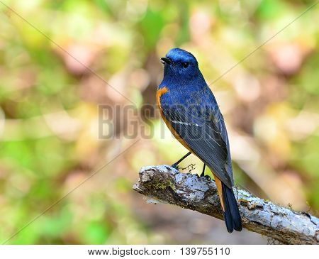 Blue-fronted Redstart (phoenicurus Frontalis) The Lovely Colorful Blue Bird With Orange Belly Perchi