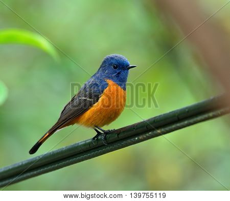 Blue-fronted Redstart (phoenicurus Frontalis) The Magnificent Colorful Bird Perching On The Wire Wit