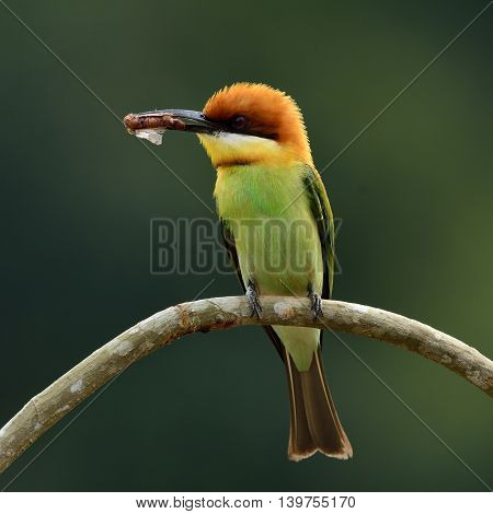 Chestnut-headed Bee-eater (merops Leschenaulti) The Beautiful Orange Head, Green Body And Blue Tail