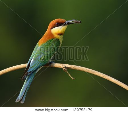 Chestnut-headed Bee-eater (merops Leschenaulti) The Beautiful Orange Head, Green Wings And Blue Tail