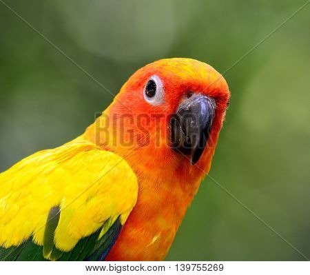 Close Up Of Sun Parakeet Or Sun Conure (aratinga Solstitialis) The Lovely Yellow With Green And Blue