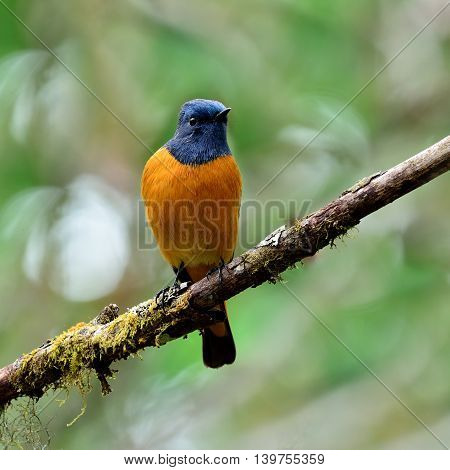 Colorful Blue Bird With Orange Belly, The Blue-fronted Redstart (phoenicurus Frontalis) Perching On