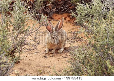 Rabbit with big ears in the wild